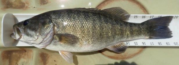 Shoal Bass Chattahoochee River 8-6 4.00 lbs