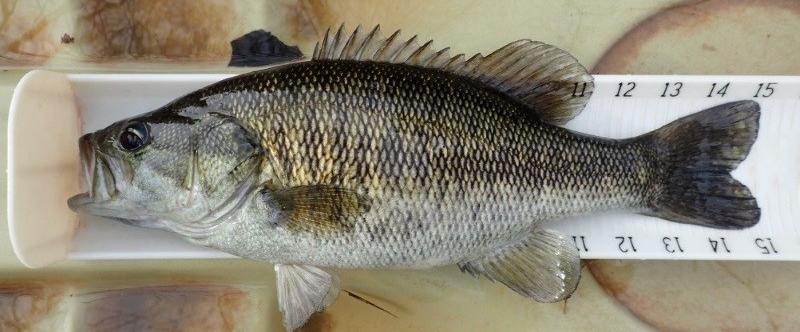 Suwannee Bass IV
