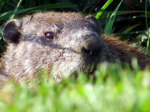 Groundhog_teeth_SteveBaker