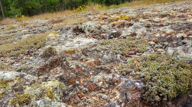 Lichens and moss on Altamaha grit outcrop.