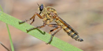 fly on a blade of grass in profile. large black-purple eye, elongated body.