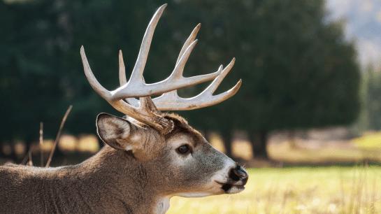 Mature white-tailed deer buck