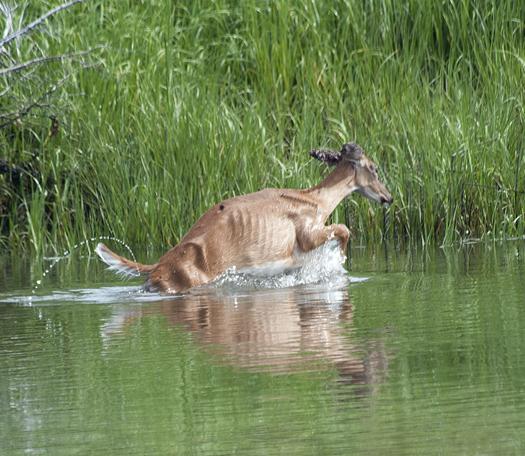 Deer-in-LR-Canal.-Kevin-in-Gallery-6.22.2
