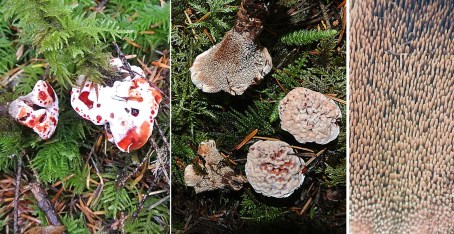 Hydnellum peckii   Strawberries and Cream tooth polypore
