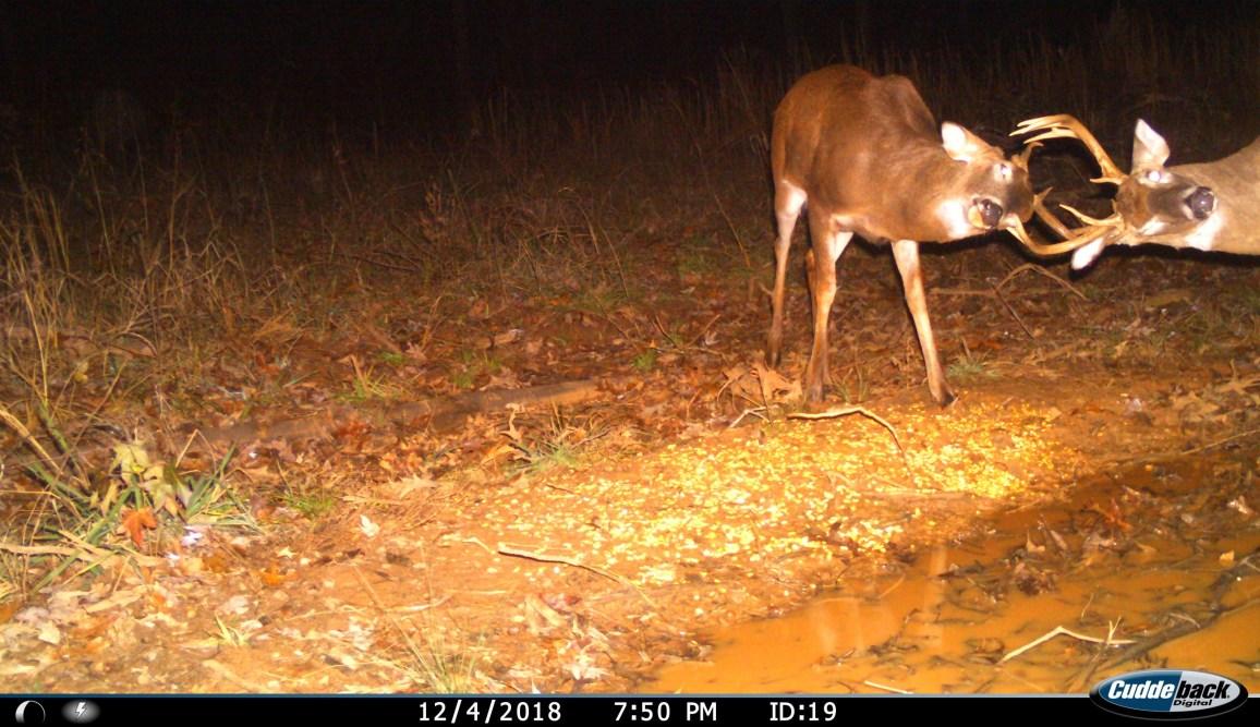 bucks locking antlers