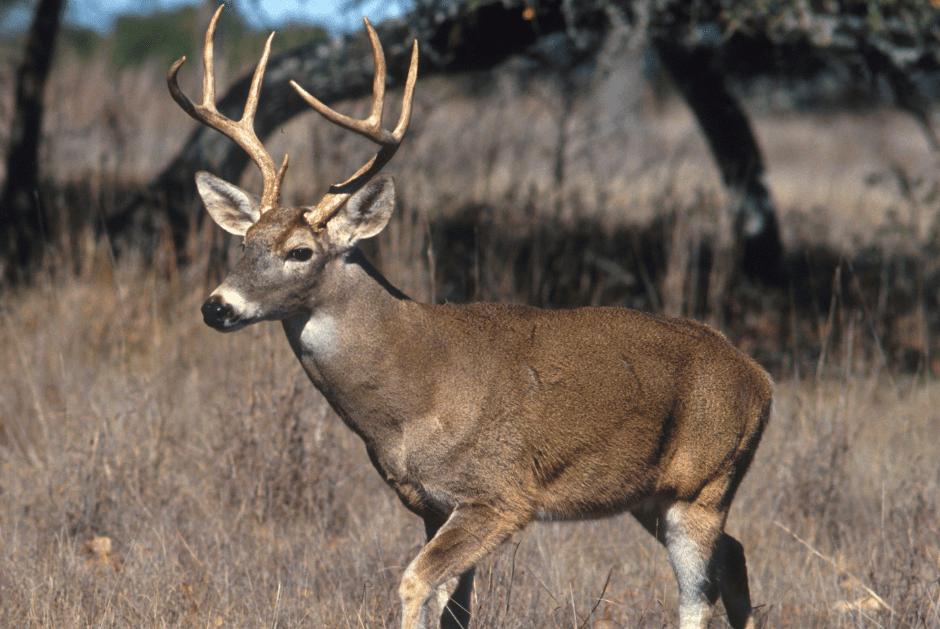 buck walking through field