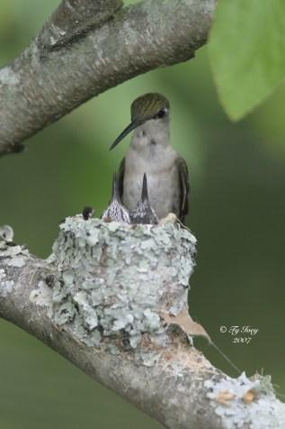 Birds_MaconGa_RubyThroatedHummingbird_TytIvey(2)