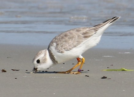 Piping plover Esperanza on Little Egg Island Bar_Tim Keyes_DNR