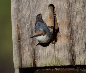 Brown-headed Nuthatch nesting box