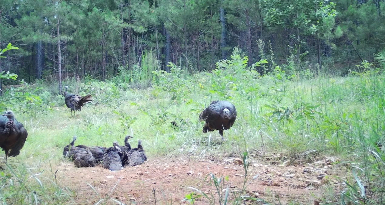 Results of Georgia's Wild Turkey Summer Poult Survey
