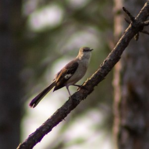 Great-crested flycatcher (James Malphrus)