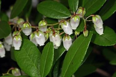 climbing fetterbush flowers