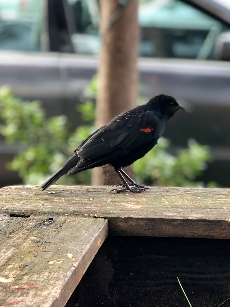 Blackbird with red feather highlight
