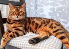 Foto Kucing Bengal