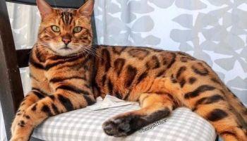 Tentang Kucing Japanese Bobtail Si Pembawa Keberuntungan Gerava Ikan Hias Burung Kicau Kucing Anjing