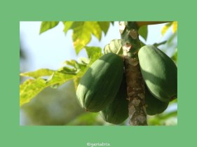 058-papaya_new