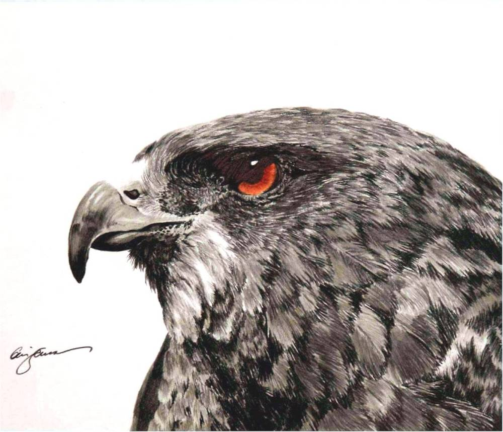 Red-Tailed Hawk Graphite Drawing