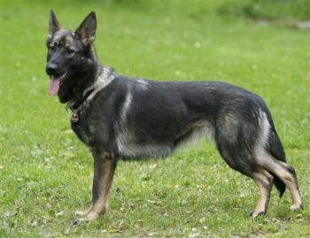 Germany May Be Reunited, But German Shepherd Bloodlines Aren't
