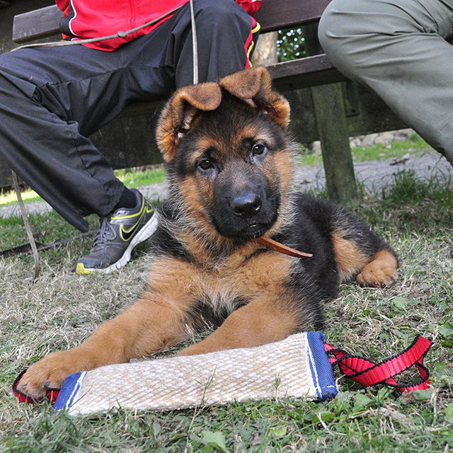 Q&A: How to find a German Shepherd puppy