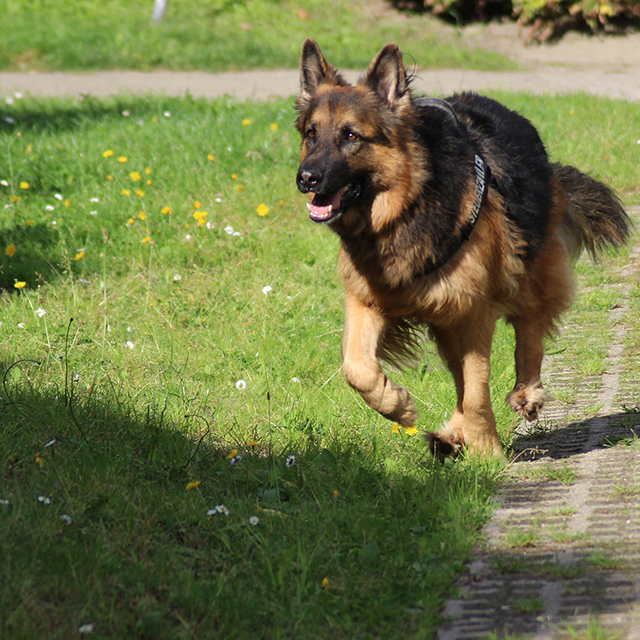 Q&A: My German Shepherd runs past me when I call