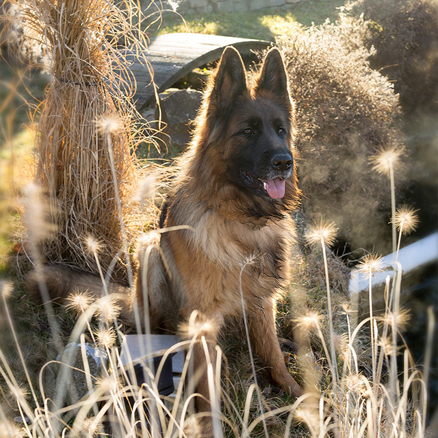 Teach your GSD to stay