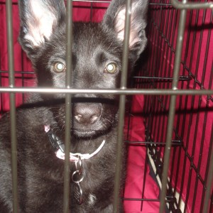 Guide To Crate Training A German Shepherd Puppy
