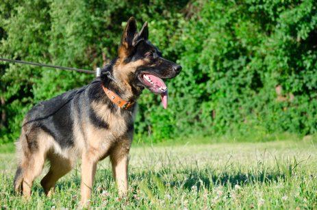 German Shepherd walking on leash