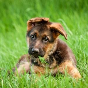 German Shepherd Puppy Ear Stages