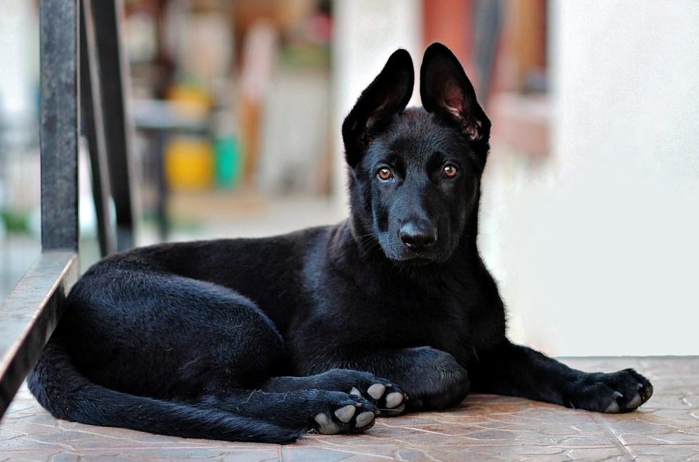 Spaying or Neutering Your German Shepherd | German Shepherd Dog HQ