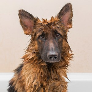 Best Shampoo And Conditioner For German Shepherds