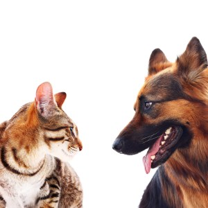 Are German Shepherds Good With Cats?