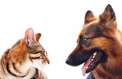 German Shepherds With Cats