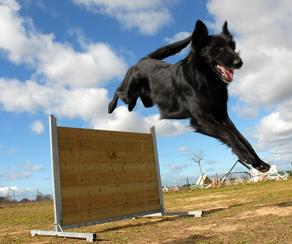 German Shepherd jumping over an obstacle