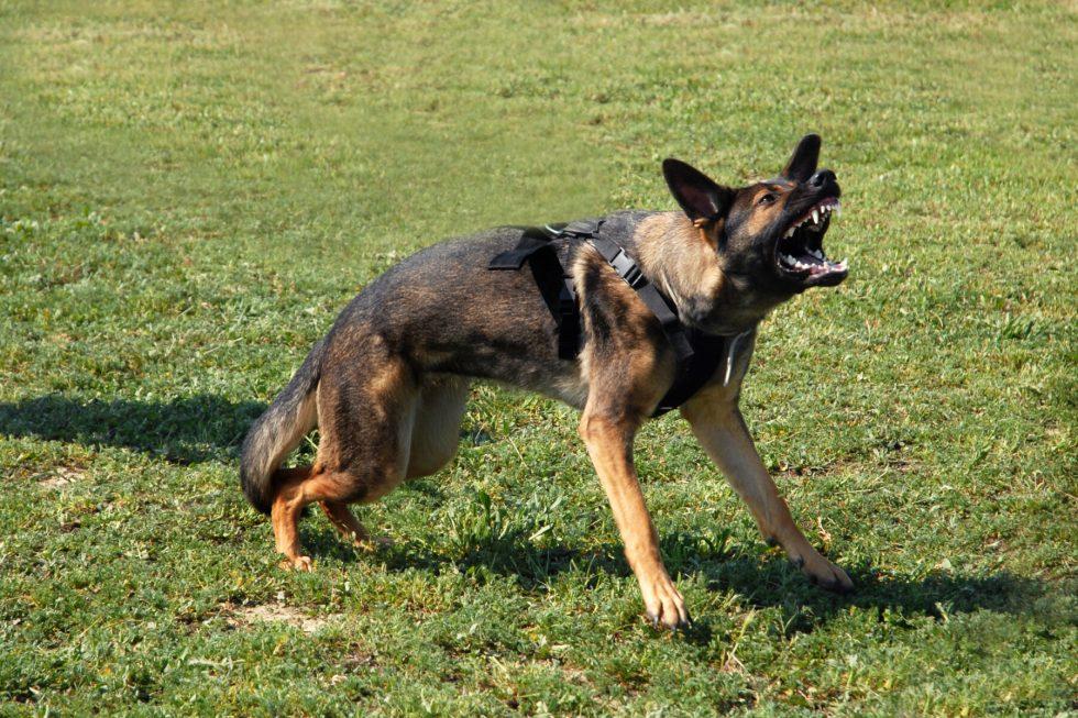 Are German Shepherds agressive?