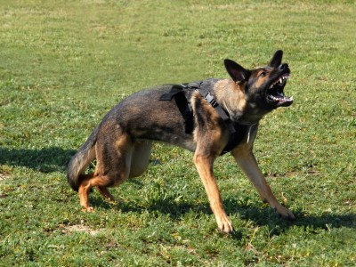 Are German Shepherds Agressive?