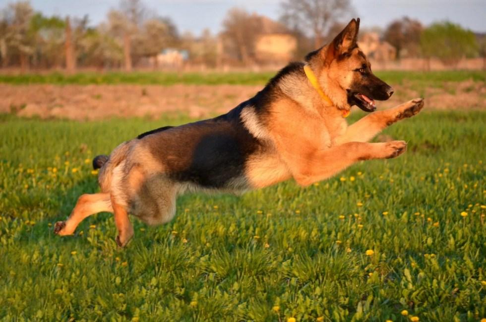 German Shepherd playing outside