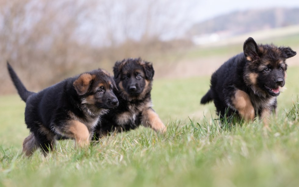 German Shepherd puppies playing outside