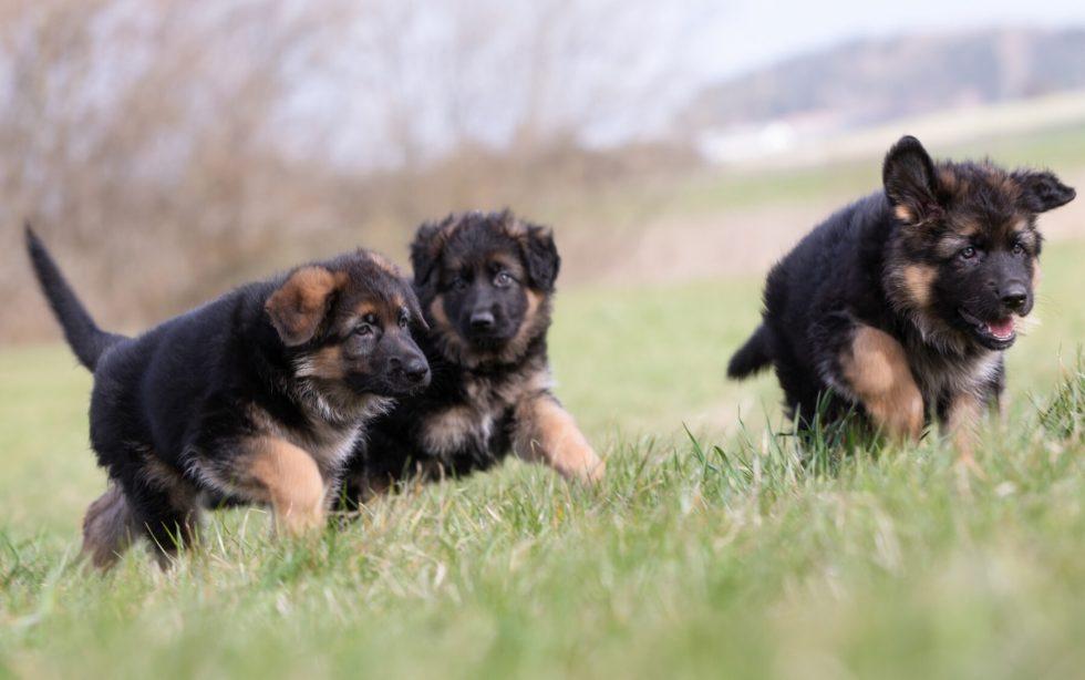German Shepherd puppies playing outside