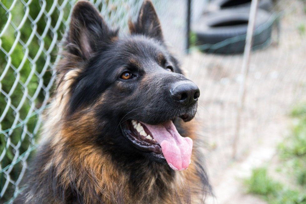 long haired GSD outside
