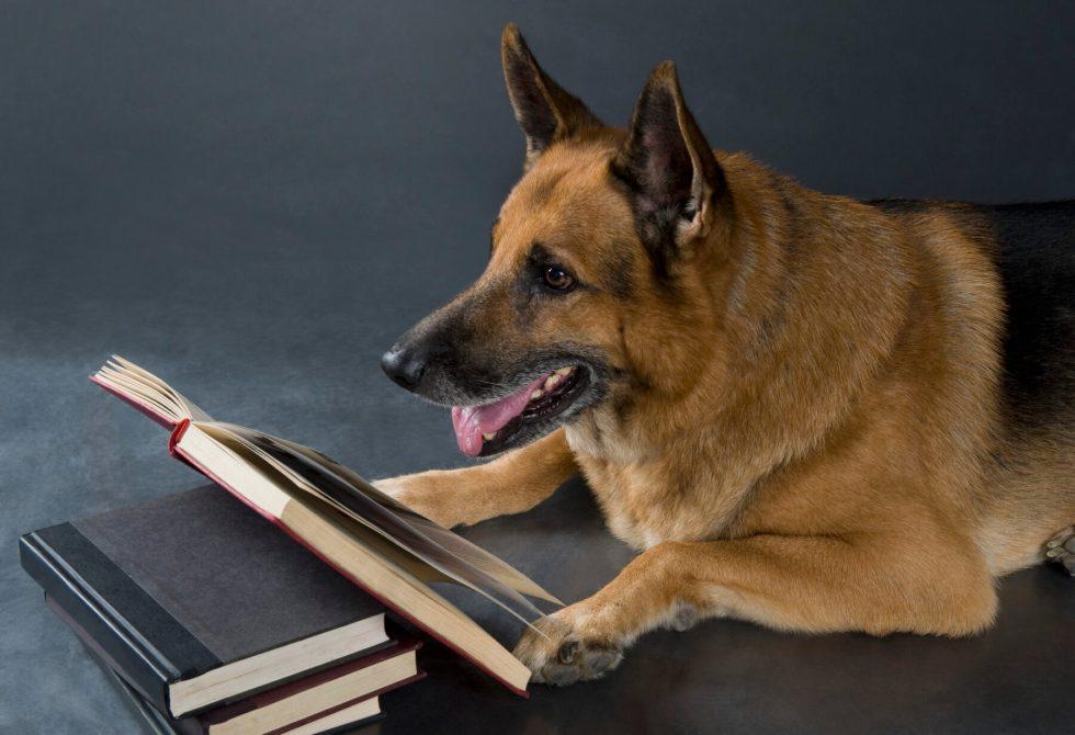 German Shepherd reading a book