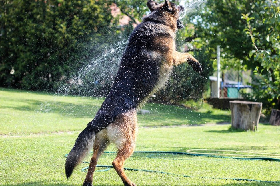 GSD playing in the water