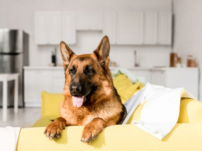 Can German Shepherds Live In Apartments