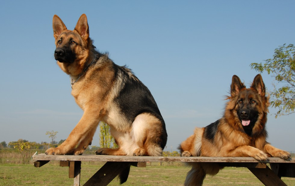 Two German Shepherds outside