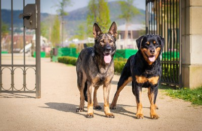 German Shepherd Vs Rottweiler