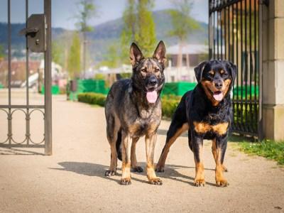 German Shepherd Vs Rottweiler