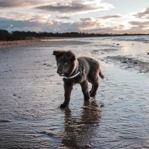 Blue GSD On Beach
