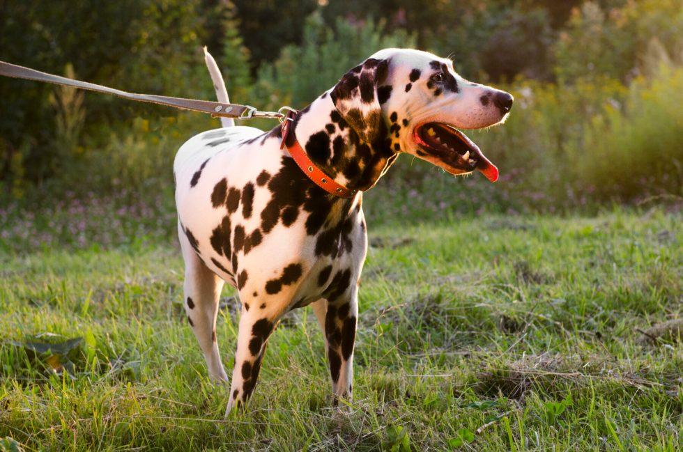 Dalmatian Outside