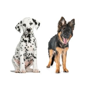 German Shepherd Dalmatian Mix