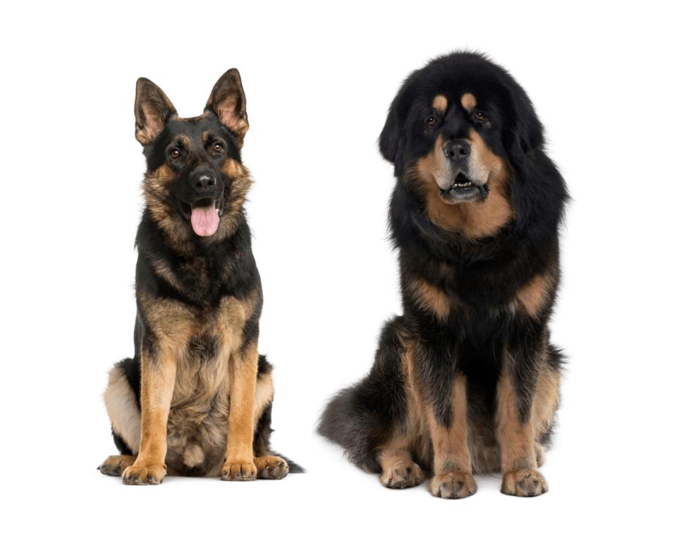 German Shepherd Tibetan Mastiff Mix