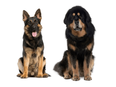 German Shepherd Tibetan Mastiff Mix